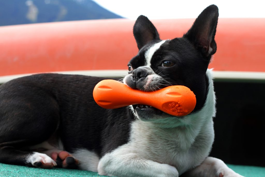 small dog with a chew toy in its mouth